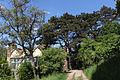 Wien-Penzing - Naturdenkmal 27 - Dehnepark - geschützte Schwarzföhre (Pinus nigra) bei der Ruinenvilla.jpg