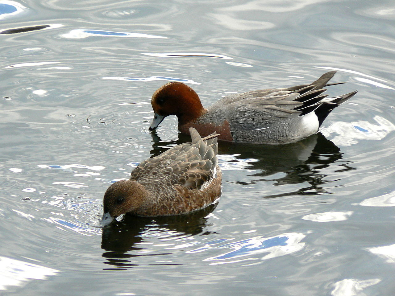 http://upload.wikimedia.org/wikipedia/commons/thumb/4/48/Wigeon.jpg/1280px-Wigeon.jpg