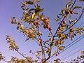 Wild appeltree.JPG