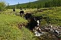 Wild cows - panoramio.jpg