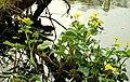 Wildflowers, Clandeboye wood (2) - geograph.org.uk - 793443.jpg
