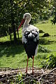 Wildpark Poing Storch.jpg