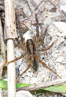 Wolf Spider - Tigrosa annexa, Lake June-in-Winter Scrub State Park, Lake Placid, Florida.jpg
