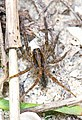 Wolf Spider - Tigrosa annexa, Lake June-in-Winter Scrub State Park, Lake Placid, Florida.jpg