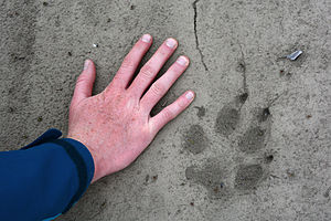 Anaktuvuk River - A packrafter puts her hand alongside a wolf print on the Anaktuvuk River. North Slope, Alaska
