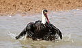 Woolly-necked stork, Bishop stork or White-necked stork, Ciconia episcopus, at uMkhuze Game Reserve, kwaZulu-Natal, South Africa - having a bath (15487978412).jpg