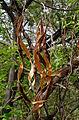 Wrightia tinctoria in Keesaraguda, AP W IMG 9114.jpg