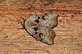 Xenochroa chlorostigma, male (Nolidae- Chloephorinae) (5697508093).jpg