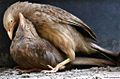 Yellow-billed Babblers.jpg