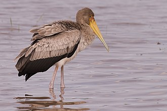 Yellow-billed stork - A breeding adult in South Africa and a juvenile bird in Tanzania