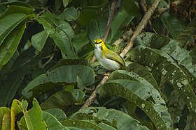 Yellow-browed Cameroptera - Ghana S4E2609 (17327708502).jpg