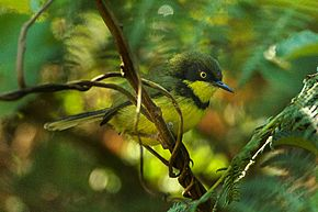 Description de l'image Yellow-throated Apalis - Malawi S4E4174 (17329190131).jpg.