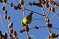 Yellow Little Bird (27476733).jpeg