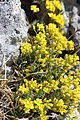 Yellow Whitlow-Grass - Draba aizoides (13866819444).jpg
