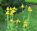 Yellowconeflower Rudbeckia pinnata.jpg
