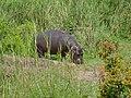 Young Hippo (Hippopotamus amphibius) (11531571703).jpg