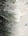 Young gray birch bark.jpg