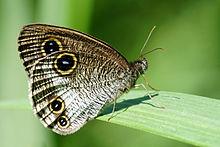 白带波眼蝶
