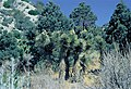 Yucca brevifolia ssp. jaegerianana fh 1182.98 NV B.jpg
