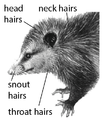 Z9. Neck hairs (M01i).png