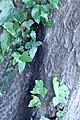 ZIMG 2663-Notholithocarpus densiflorus.jpg