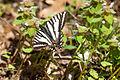 Zebra swallowtail (24935616831).jpg