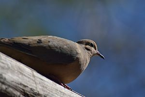 Mourning dove - In Hermosillo, Sonora, Mexico