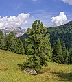 Zirm sun Mont de Sëura Gherdëina Swiss Pine tree.jpg