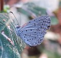 Zizula hylax – Tiny Grass Blue 01.jpg