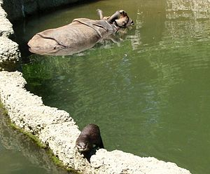 Asian small-clawed otter - Asian small-clawed otter swimming with Indian rhinoceros at Zoo Basel