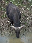 Zoo de Lunaret - Banteng - P1600311.jpg