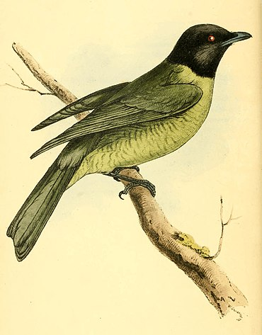 Zoological Illustrations Volume I Plate 25.jpg