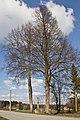 Zwei Linden in Wolfsegg 2014-03 01 NÖ-Naturdenkmal GD-108.jpg