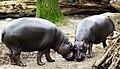 Zwergflusspferd - Pygmy Hippopotamus - Hexaprotodon liberiensis.jpg