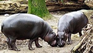 Duisburg Zoo - Pygmy hippopatami