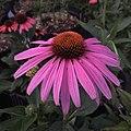 'Prairie Splendor' echinacea IMG 7757.jpg