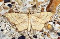 (1712) Small Scallop (Idaea emarginata) (5970180295).jpg