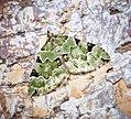 (1776) Green Carpet (Colostygia pectinataria) (34680845615).jpg