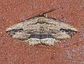 (1936) Waved Umber (Menophra abruptaria) (16927951443).jpg