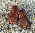 (2139) Red Chestnut (Cerastis rubricosa) (6874043312).jpg
