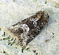 (2337) Marbled Minor (Oligia strigilis) (7285055216).jpg