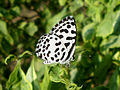(Castalius rosimon) Common pierrot at Kakinada 01.JPG