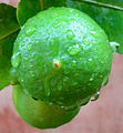 (Citrus latifolia) lemon fruit at Madhurawada.JPG