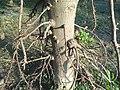 (Couroupita guianensis) at Kakinada Gandhinagar park 13.JPG