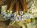 (Nymphaea nouchali) lotus flowers 01.jpg