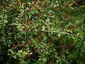 ¿ Berberis lycium ? (7865040706).jpg