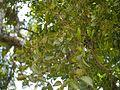 ¿ Helixanthera obtusata ? (14393237529).jpg
