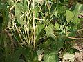 ¿ Vigna unguiculata subsp. cylindrica ? (4666728926).jpg