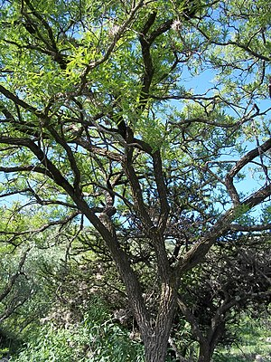Eysenhardtia - Eysenhardtia polystachya