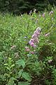 Äggdalen 2015 Spiraea salicifolia 003.jpg